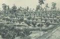 KITLV - 101131 - Kleingrothe, C.J. - Medan - One-year coffee plantation (café robusta) on a plantation in Sumatra - circa 1905.tif
