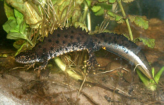 "Northern crested newt - Male great crested newt in ""mating dress""."