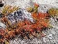 Karapınar 2010 Meke Gölü-Halophyten.jpg
