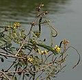 Kassod (Senna siamea) flowers, pods & leaves W IMG 0541.jpg