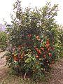 Kinnow tree.JPG