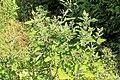Kluse - Chenopodium giganteum - Magentaspreen 17 ies.jpg