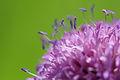 Knautia arvensis - Burgenland.jpg