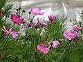Knospen und Blüten Gemeine Kosmeen.JPG