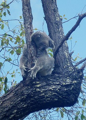 Magnetic Island - Koala taking a nap on a tree branch on a walking trail to the Fort in the Magnetic Island