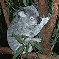 Koala loves a feed (113869206).jpg