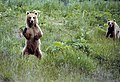 Kodiak Bear standing on hind legs, USFWS 11394.jpg