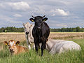 Koeien in de Alde Feanen 2.jpg
