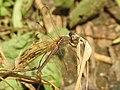 Kole Odonata Survey 2019 12.jpg