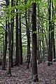 Kopachivka Rozyshchenskyi Volynska-Larix decidua alley nature monument-view from the forest.jpg