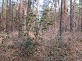 Korina 2013-03-18 Mahonia aquifolium 3.jpg