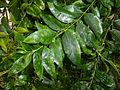 Kraussia floribunda, loof, a, Manie van der Schijff BT.jpg