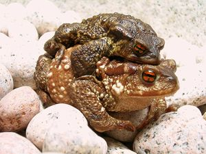 common toads during copulation