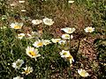 LEUCANTHEMUM VULGARE - SANT JUST - IB-391 (Margarida).JPG