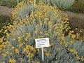 Laški smilj (Helichrysum italicum).jpg