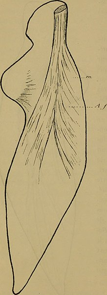 File:La musculature de la nageoire pectorale du Mesoplodon et la marche de la regression des muscles de l'extrémite antérieure chez les cetacés (1917) (14763653642).jpg