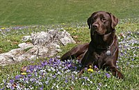 Labrador Retriever chocholate grass.jpg