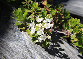 Labrador tea Ledum glandulosum close.jpg