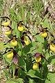 Lady's-Slipper Orchid - Cypripedium calceolus - panoramio (61).jpg