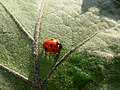 Ladybug on Leaf.jpg