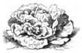 Laitue crêpe à graine noire Vilmorin-Andrieux 1883.png