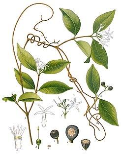 <i>Landolphia</i> genus of plants