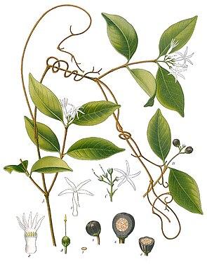 Landolphia watsoniana, Illustration.
