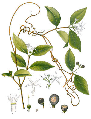 Landolphia watsoniana, Illustration.