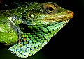 Large Scaled Forest Lizard.jpg
