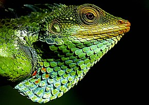 Description de l'image Large_Scaled_Forest_Lizard.jpg.