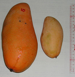A mango (left) that is much larger than a common one (right).
