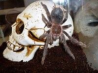 Картинки про тарантулов