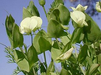 Lathyrus aphaca - Image: Lathyrus aphaca var. aphaca 1LEST