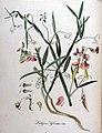 Lathyrus sylvestris — Flora Batava — Volume v9.jpg