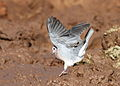 Laughing Dove, Spilopelia senegalensis, at Mapungubwe National Park, Limpopo, South Africa (18651094069).jpg