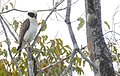 Laughing Falcon (Herpetotheres cachinnans) calling ... (48300734667).jpg