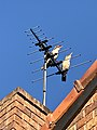 Laughing kookaburras during their daily concert from the TV antenna, Brisbane.jpg