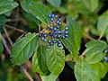 Laurustinus (Viburnum tinus) fruits (15726383257).jpg