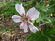 Lavatera acerifolia var. acerifolia (Jardín Botánico Canario Viera y Clavijo)