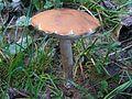 Leccinum aurantiacum P3 (1).jpg