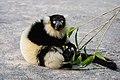 Lemur (27618376538).jpg