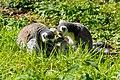 Lemur (30081332827).jpg
