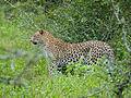 Leopard (Panthera pardus) (12906646793).jpg