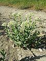 Lepidium draba (subsp. draba) sl1.jpg