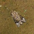 Lepidoptera (33347374950).jpg