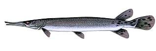 Shortnose gar species of fish