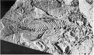 Lepomis - fossil of Lepomis kansasensis
