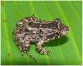 LeptodactylusPetersii.PNG