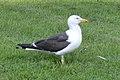 Lesser Black-backed Gull (Larus fuscus) - Oslo, Norway 2020-08-03.jpg