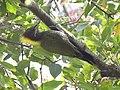 Lesser Yellownape - Picus chlorolophus - DSC01202.jpg